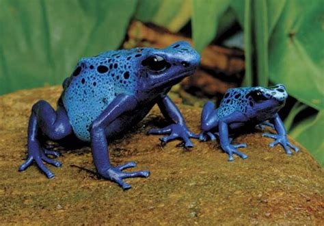 Family Frog Limited poison frog hibian britannica