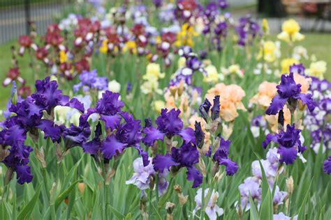 Presby Iris Garden by Presby Memorial Iris Gardens A Rainbow On The Hill In