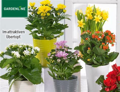 kleine zimmerpflanzen gardenline 174 bl 252 hende zimmerpflanze aldi s 252 d ansehen