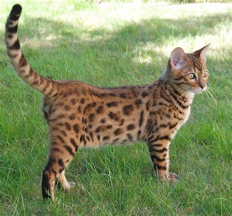 bantal cat bengal cat facts bengal cat world