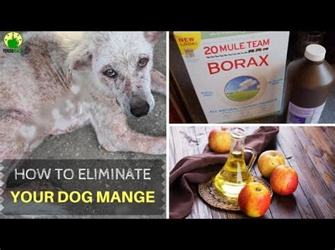 how to cure mange in dogs mange mashpedia free encyclopedia