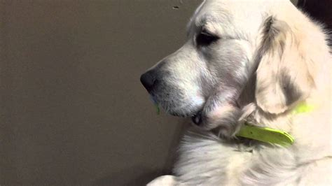 when to give puppy refuses to give up pacifier catsdogsvideo