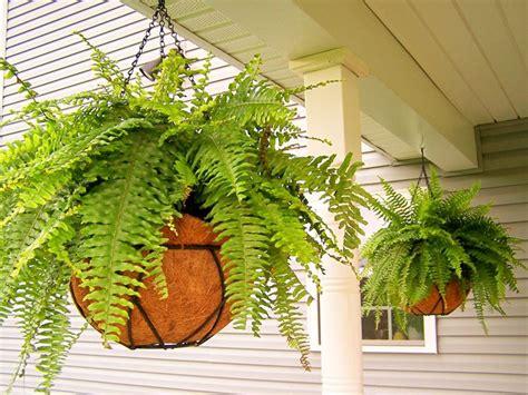 felce d appartamento felci in appartamento piante da interno felci in