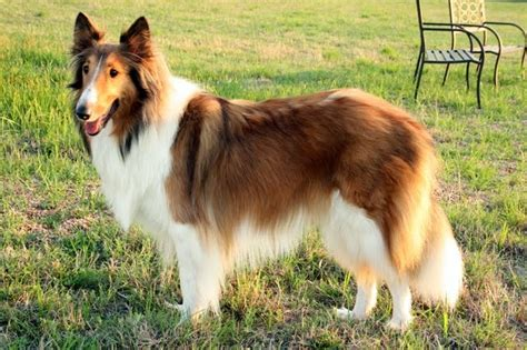 lassie puppies pin lassie puppy and photos of because it on