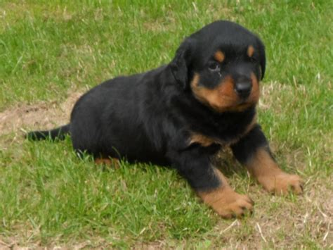 german rottweiler puppy german rottweiler puppies ready to go friday liverpool merseyside pets4homes