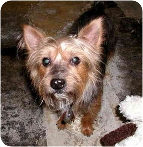 yorkies for adoption in pa bug adopted ephrata pa yorkie terrier