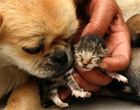 Healthylac For Puppies Kittens Isi 10 puppy looks like a kitten