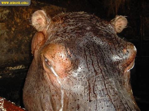 what color are hippos hippo sweat color