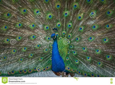 peacock feathers on the open tail stock photo image
