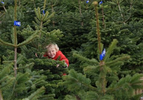 wyevale set for real christmas tree bonanza amateur