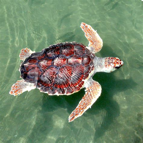 Turtle L by Large Turtles Turtleholic