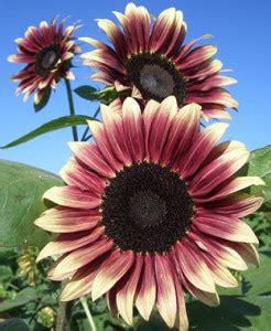 Benih Cabe Unik Naga Morich Limited benih sunflower ruby eclipse 1 biji non retail bibitbunga