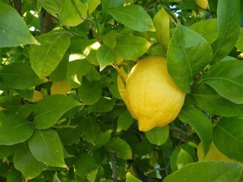 potare un limone in vaso potatura limone domande e risposte orto e frutta