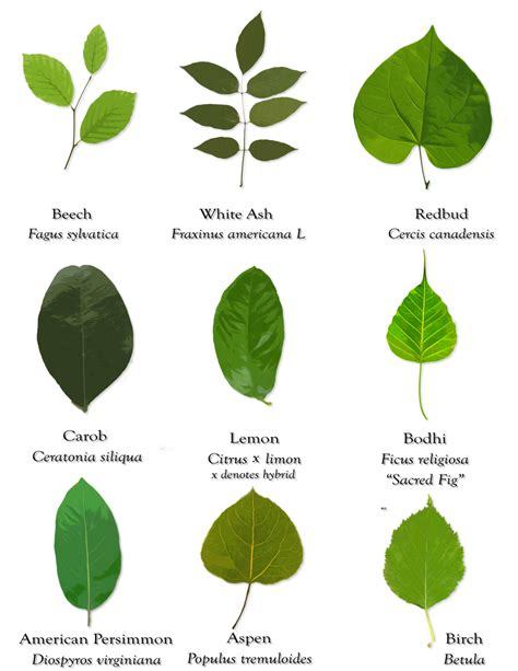 Search By Their Picture Goseekit Web Different Types Of Leaves And Their Names