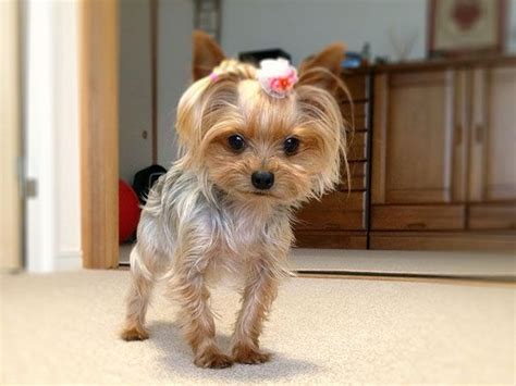 cute yorkie photos haircuts yorkies dressed up pictures cute momo 25 marvelous