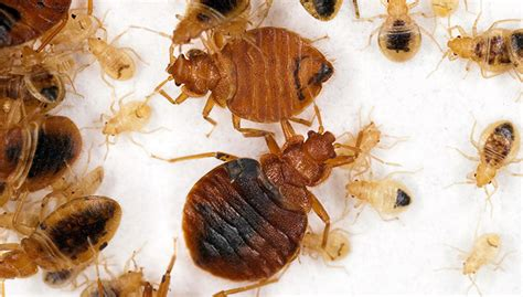 what are bed bugs attracted to bed bugs are trying to get into your dirty laundry free