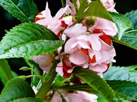 Garden Balsam by Wedding Flowers Balsam Flowers