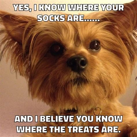 yorkie quotes 1000 images about i animals specially yorkies on yorkie yorkies
