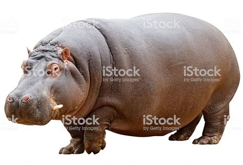 Hippopotamus In White Background hippo with clipping path on white background stock photo