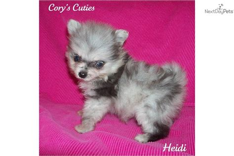 pomeranian puppies for sale missouri pomeranian puppies for sale in springfield or from jake auto design tech