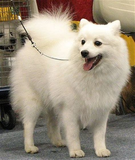 breeds similar to pomeranian what are all the other types of dogs that are similar to a husky quora