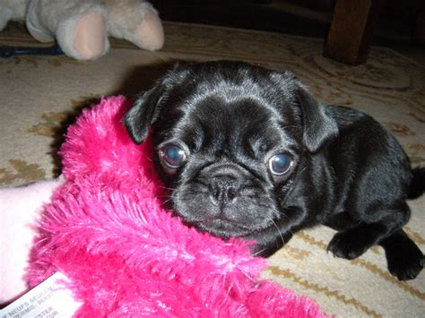 photos of baby pugs black baby pugs