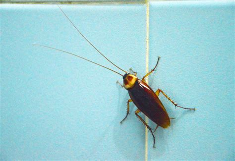 household bugs  rid  bed   greatist bettle
