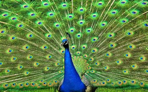hd wallpapers for desktop beautiful peacock wallpapers hd beautiful dancing peacock hd wallpapers birds wallpapers