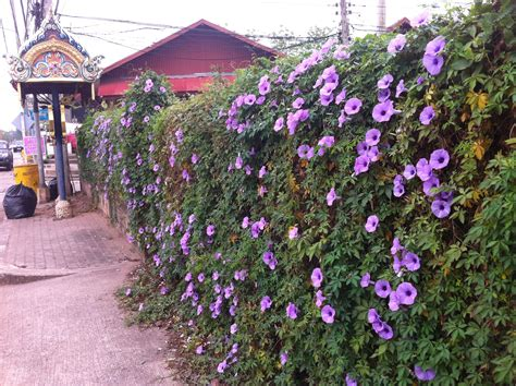 Purple Flowers On A Vine - 301 moved permanently