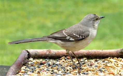 northern mockingbird on a tray feeder feederwatch