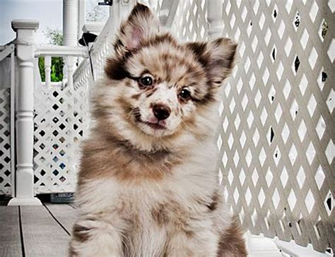 australian shepherd pomeranian the pomeranian australian shepherd mix much more than just a pretty coat