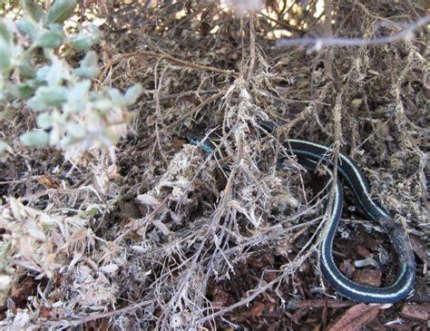 Garden Snake Habitat Prep For Garter Snake Ravine