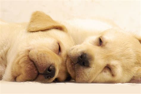 golden retriever puppies sleeping golden retriever puppy wallpapers pictures photos images