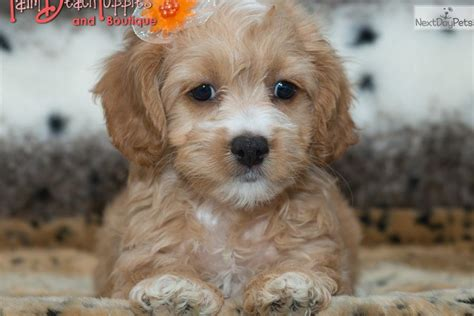 cockapoo puppies florida cockapoo puppy for sale near west palm florida 5314fab0 47a1