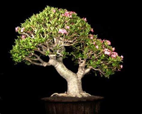 Membuat Bonsai Adenium cara membuat bonsai adenium tanaman hias dan permasalahannya