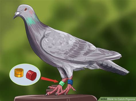 how to catch pigeons for 3 ways to catch pigeons wikihow