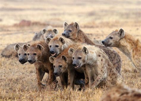 images of hyenas researchers reconsider roles of second rank hyena males