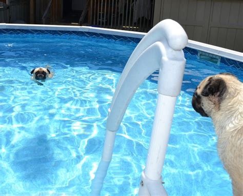do pugs swim the 26 best images about pugs swimming pug on vests swim and pools