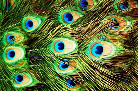 bird with colorful feathers peacock turquoise colorful feathers for bird