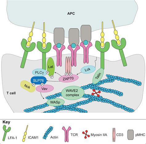 3 proteins in cytoskeleton modulation of t cell signaling by the actin cytoskeleton