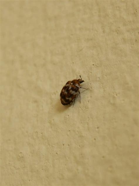 rug beetle what do baby carpet beetles look like carpet vidalondon