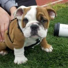 english bulldog c section adorable bulldog puppies for more cute puppies check out