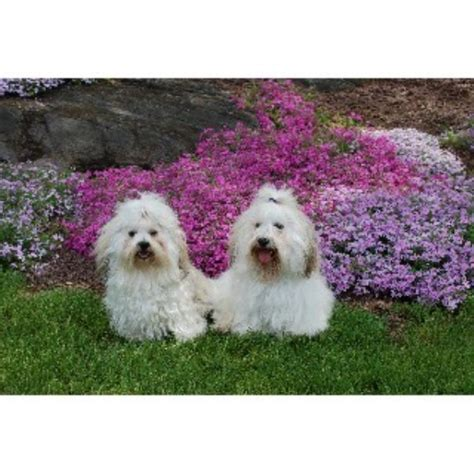 havanese rescue illinois yuppy puppy havanese havanese breeder in stuart florida