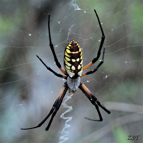Garden Spider Uses Yellow Garden Spider Argiope Aurantia Flickr Photo