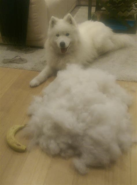 Do Spitz Shed by Image Gallery Samoyed Shedding
