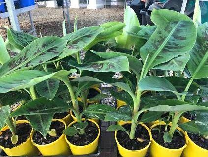 Jual Bibit Pisang Cavendish Palembang pisang jual bibit pohon tanaman