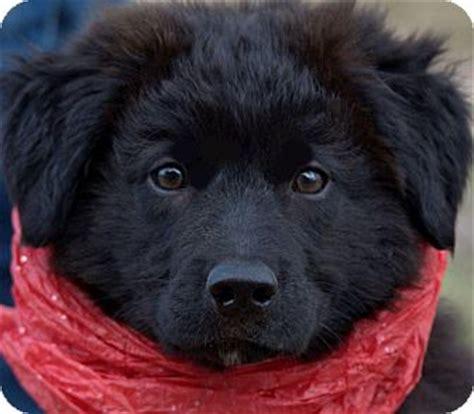 golden retriever rescue ri wow beautiful puppy adopted puppy wakefield ri labrador retriever