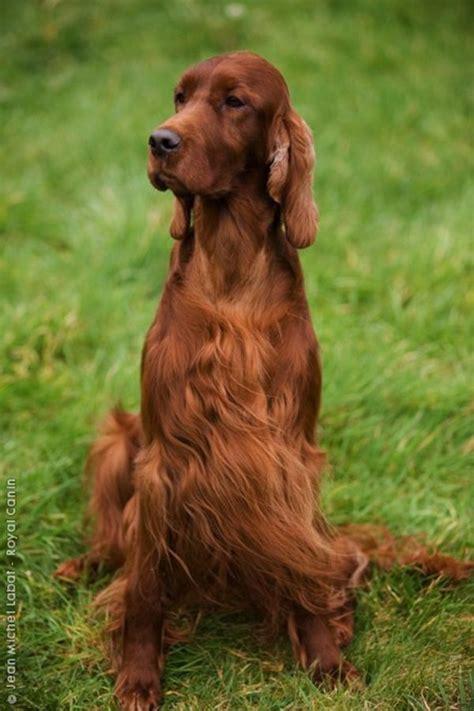 miss ali english setter dog breeds big dogs 29 irish setter big dogs pinterest