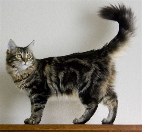coon breeds maine coon cat purrfect cat breeds