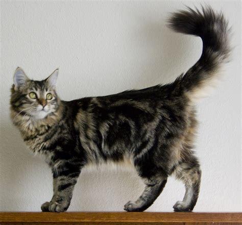 Maine Coon Cat ? Purrfect Cat Breeds
